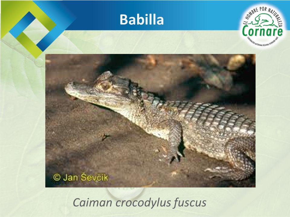 Caiman crocodylus fuscus Babilla