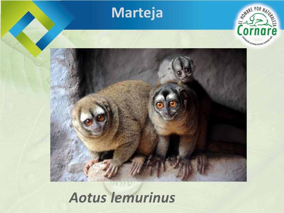 Aotus lemurinus Marteja