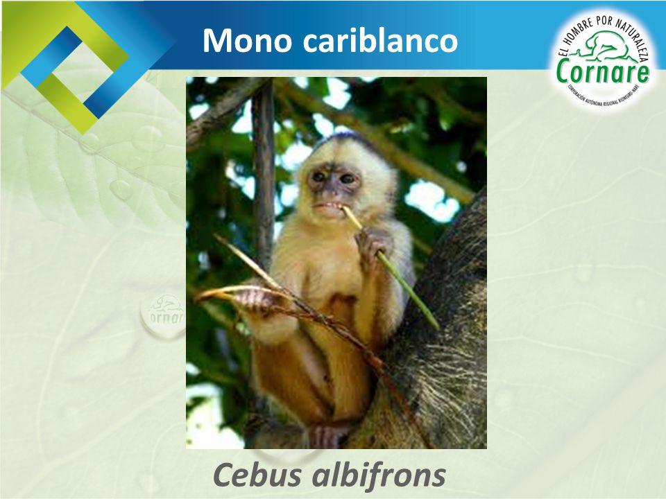 Cebus albifrons Mono cariblanco