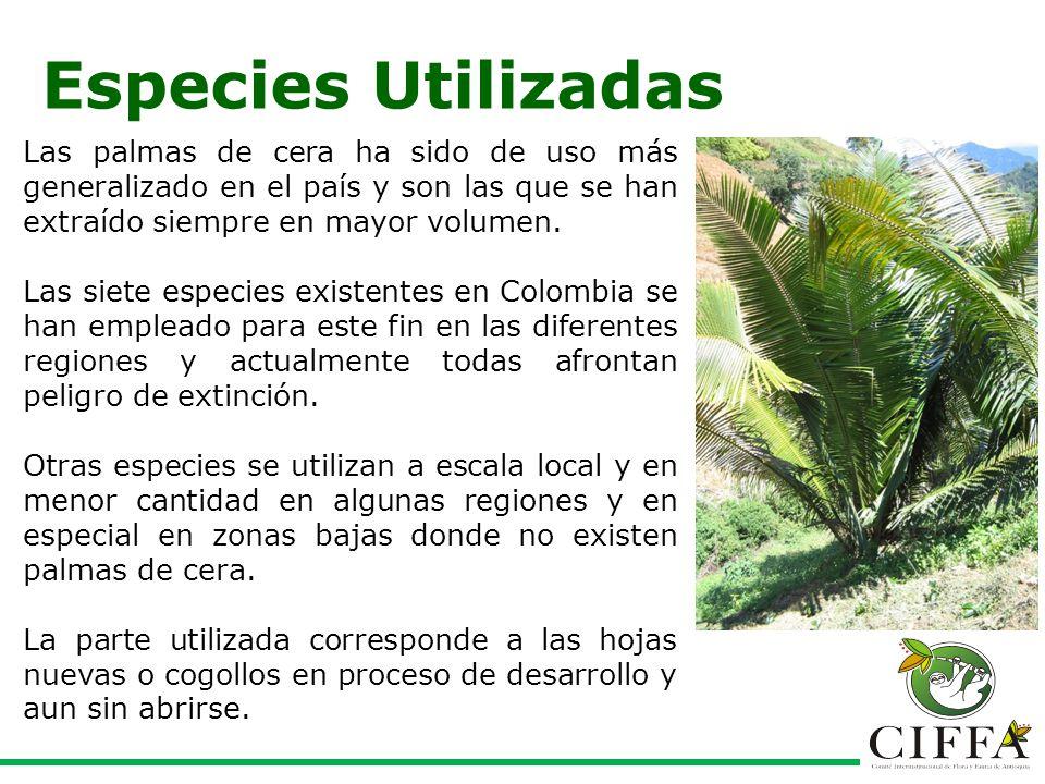 Especies Utilizadas Las palmas de cera ha sido de uso más generalizado en el país y son las que se han extraído siempre en mayor volumen.