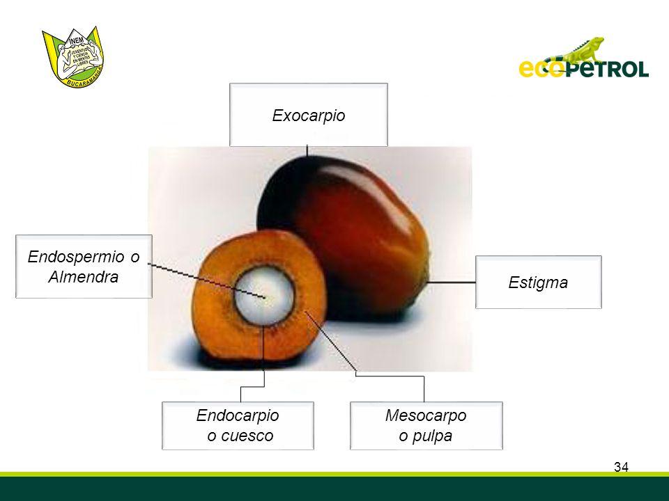 34 Estigma Exocarpio Endospermio o Almendra Mesocarpo o pulpa Endocarpio o cuesco