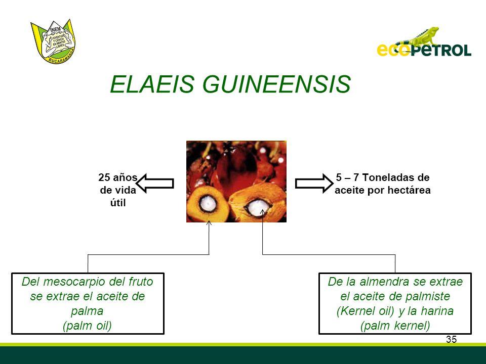 35 EELAEIS GUINEENSIS Del mesocarpio del fruto se extrae el aceite de palma (palm oil) De la almendra se extrae el aceite de palmiste (Kernel oil) y l