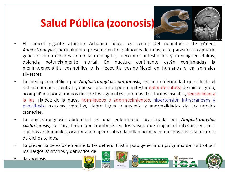 Salud Pública (zoonosis) El caracol gigante africano Achatina fulica, es vector del nematodos de género Angiostrongylus, normalmente presente en los p
