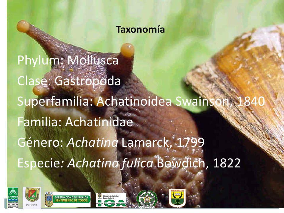 Taxonomía Phylum: Mollusca Clase: Gastropoda Superfamilia: Achatinoidea Swainson, 1840 Familia: Achatinidae Género: Achatina Lamarck, 1799 Especie: Ac