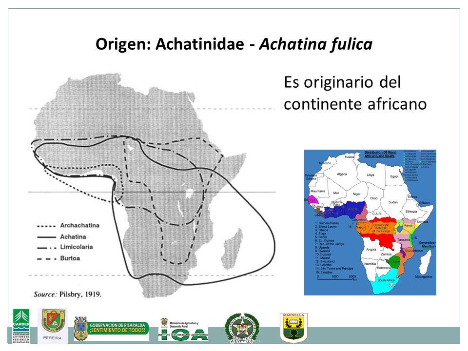 Origen: Achatinidae - Achatina fulica Es originario del continente africano