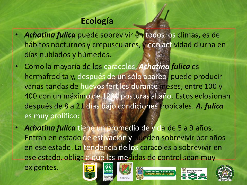 Achatina fulica puede sobrevivir en todos los climas, es de hábitos nocturnos y crepusculares, y con actividad diurna en días nublados y húmedos. Como