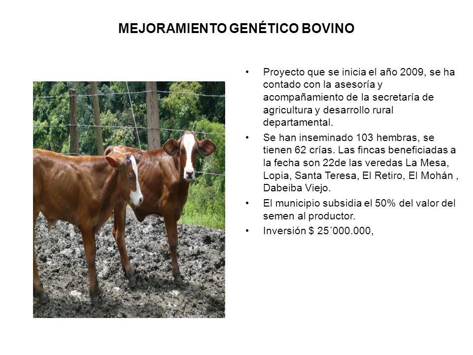 MEJORAMIENTO GENÉTICO BOVINO Proyecto que se inicia el año 2009, se ha contado con la asesoría y acompañamiento de la secretaría de agricultura y desarrollo rural departamental.