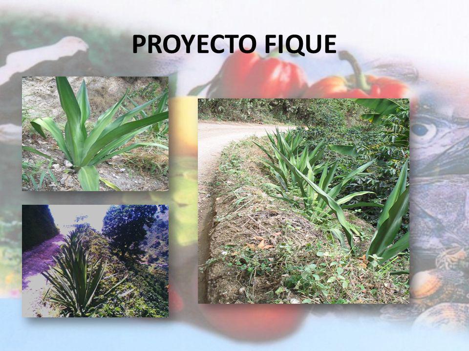 PROYECTO PLÁTANO Día de campo en el Municipio de Anserma con productores de ASOAGRONOR para conocer el proceso de exportación de plátano. Día de campo