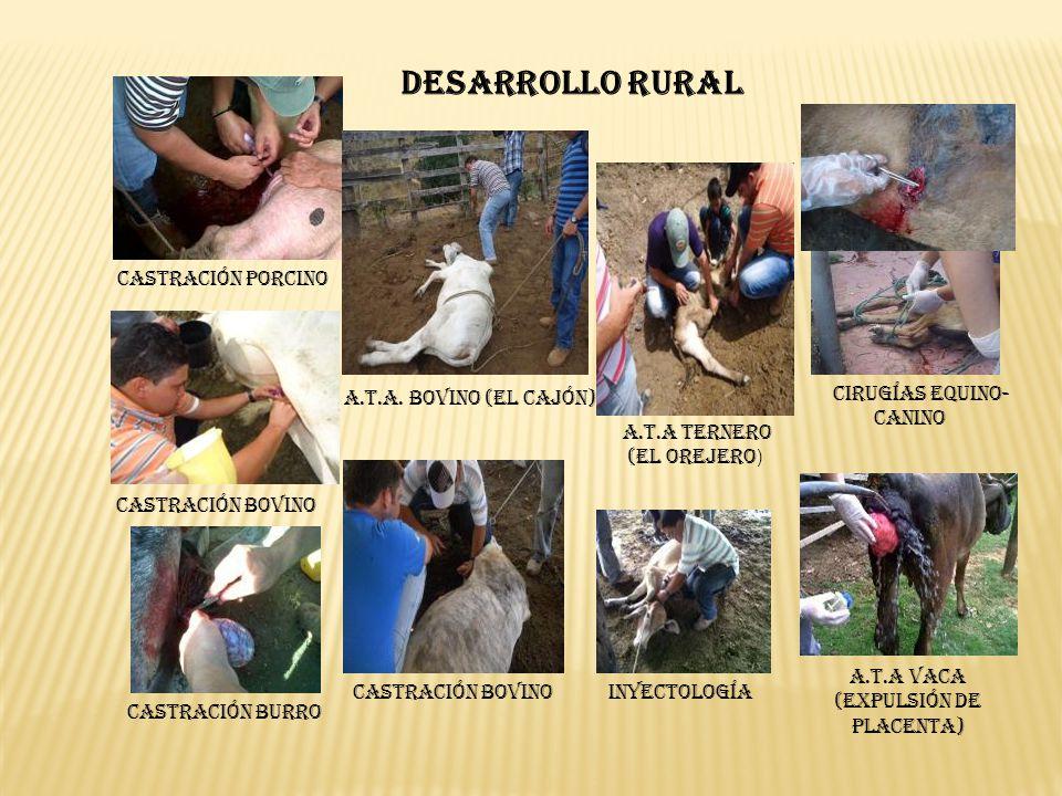 Castración Porcino A.T.A. Bovino (El Cajón) A.T.A Ternero (El Orejero ) Cirugías Equino- Canino Castración Bovino A.T.A Vaca (Expulsión de Placenta) I