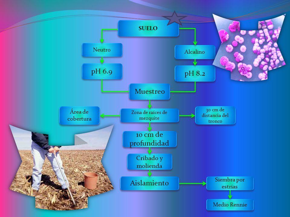 SUELO Neutro Muestreo pH 6.9 pH 8.2 Alcalino Cribado y molienda 10 cm de profundidad Área de cobertura 30 cm de distancia del tronco Zona de raíces de mezquite Aislamiento Siembra por estrías Medio Rennie