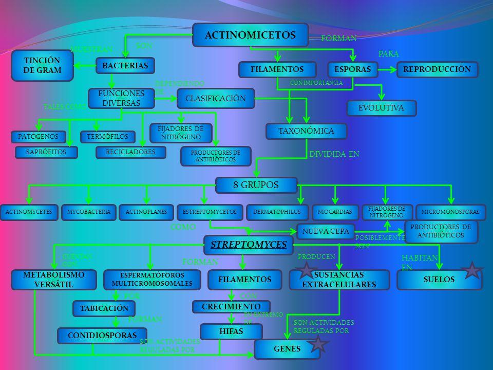 ACTINOMICETOS BACTERIAS TAXONÓMICA CLASIFICACIÓN FUNCIONES DIVERSAS REPRODUCCIÓNESPORASFILAMENTOS TINCIÓN DE GRAM EVOLUTIVA FIJADORES DE NITRÓGENO PRODUCTORES DE ANTIBIÓTICOS TERMÓFILOS RECICLADORESSAPRÓFITOS PATÓGENOS 8 GRUPOS MYCOBACTERIAACTINOMYCETESDERMATOPHILUSESTREPTOMYCETOSACTINOPLANESMICROMONOSPORAS FIJADORES DE NITRÓGENO NIOCARDIAS STREPTOMYCES METABOLISMO VERSÁTIL SUELOS SUSTANCIAS EXTRACELULARES FILAMENTOS ESPERMATÓFOROS MULTICROMOSOMALES TABICACIÓN CONIDIOSPORAS HIFAS CRECIMIENTO GENES SON MUESTRAN TALES COMO DEPENDIENDO DE FORMAN PARA CON IMPORTANCIA DIVIDIDA EN COMO CUENTAN CON FORMAN PRODUCEN HABITAN EN SON ACTIVIDADES REGULADAS POR POR FORMAN CON EN EXTREMO DE NUEVA CEPA PRODUCTORES DE ANTIBIÓTICOS POSIBLEMENTE SON