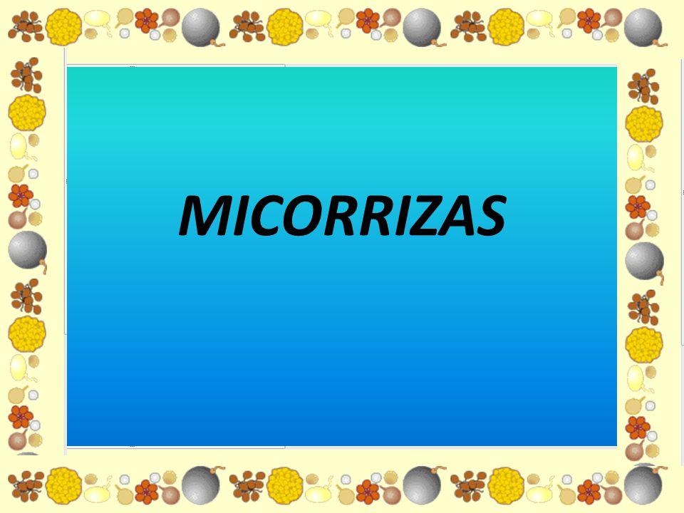 ¿Qué es una micorriza.