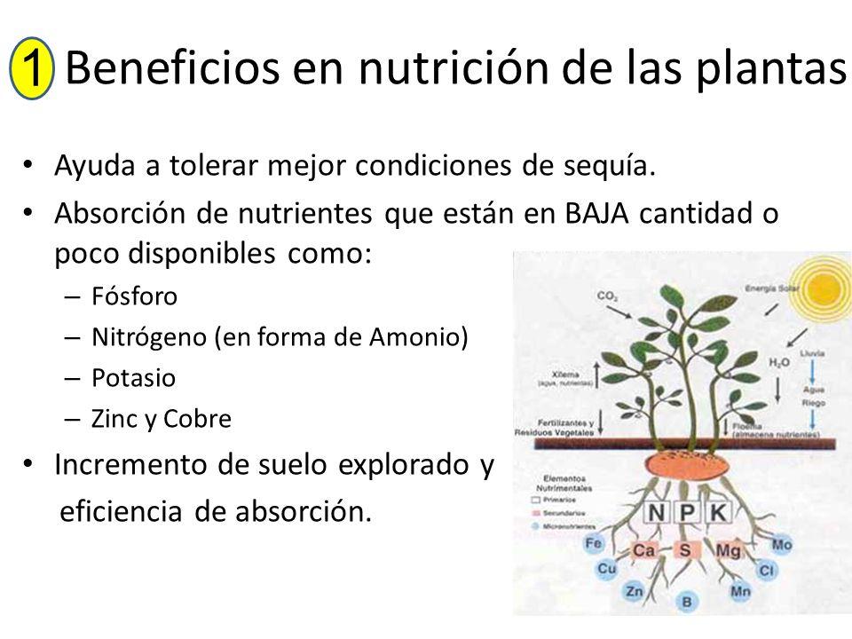 Beneficios en nutrición de las plantas Ayuda a tolerar mejor condiciones de sequía. Absorción de nutrientes que están en BAJA cantidad o poco disponib