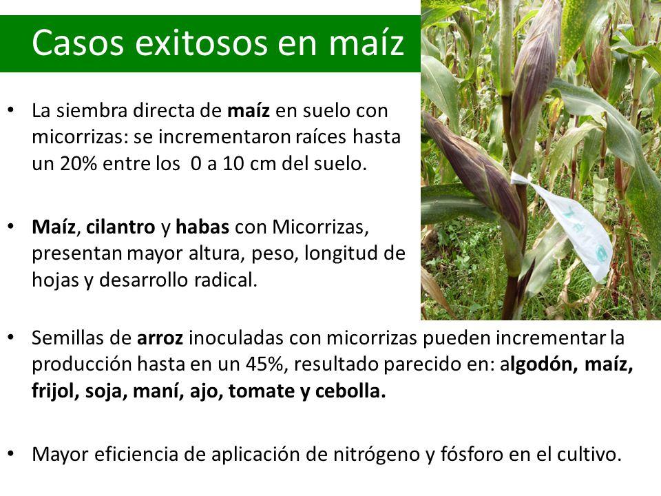 Casos exitosos en maíz La siembra directa de maíz en suelo con micorrizas: se incrementaron raíces hasta un 20% entre los 0 a 10 cm del suelo. Maíz, c