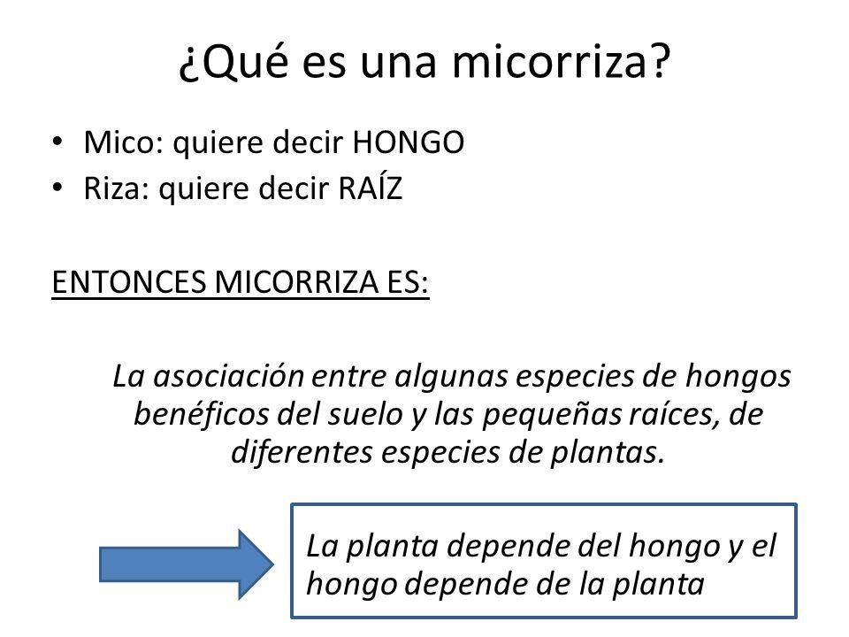 ¿Qué es una micorriza? Mico: quiere decir HONGO Riza: quiere decir RAÍZ ENTONCES MICORRIZA ES: La asociación entre algunas especies de hongos benéfico