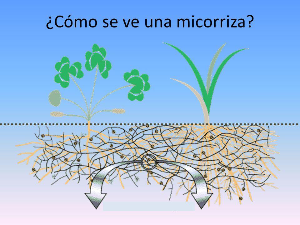 ¿Cómo se ve una micorriza?