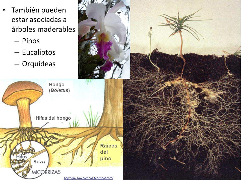 También pueden estar asociadas a árboles maderables – Pinos – Eucaliptos – Orquídeas http://greis-micorrizas.blogspot.com/ Hongo (Boletus) Hifas del h