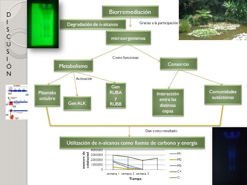 DISCUSIÓNDISCUSIÓN Biorremediación microorganismos Metabolismo Degradación de n-alcanos Consorcio Gracias a la participación Como funcionan Plásmido o