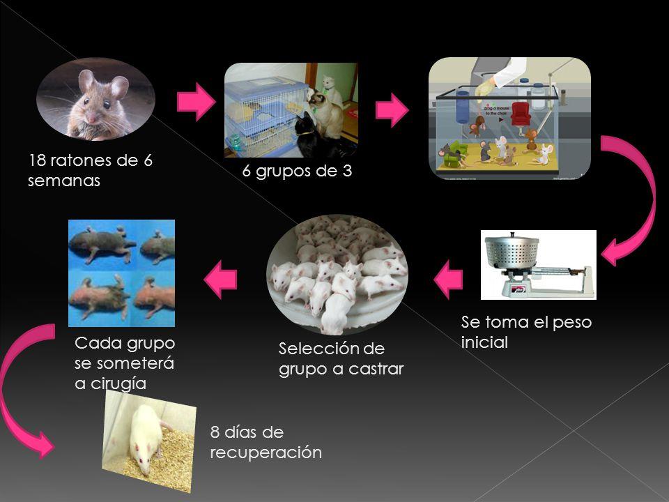 18 ratones de 6 semanas 6 grupos de 3 Cada grupo se someterá a cirugía 8 días de recuperación Se toma el peso inicial Selección de grupo a castrar