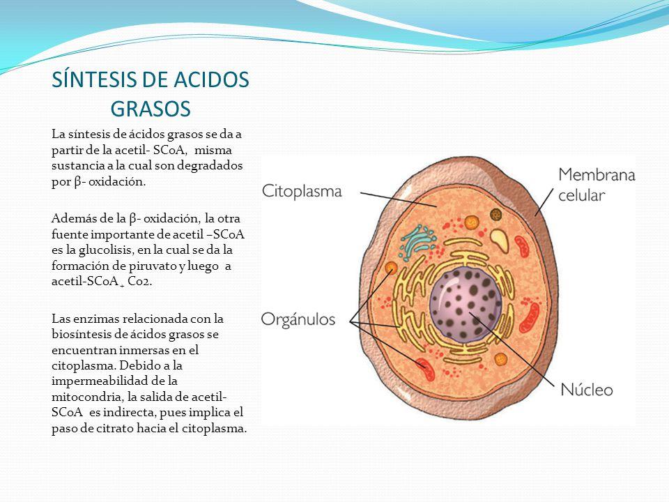 SÍNTESIS DE ACIDOS GRASOS La síntesis de ácidos grasos se da a partir de la acetil- SCoA, misma sustancia a la cual son degradados por β- oxidación. A