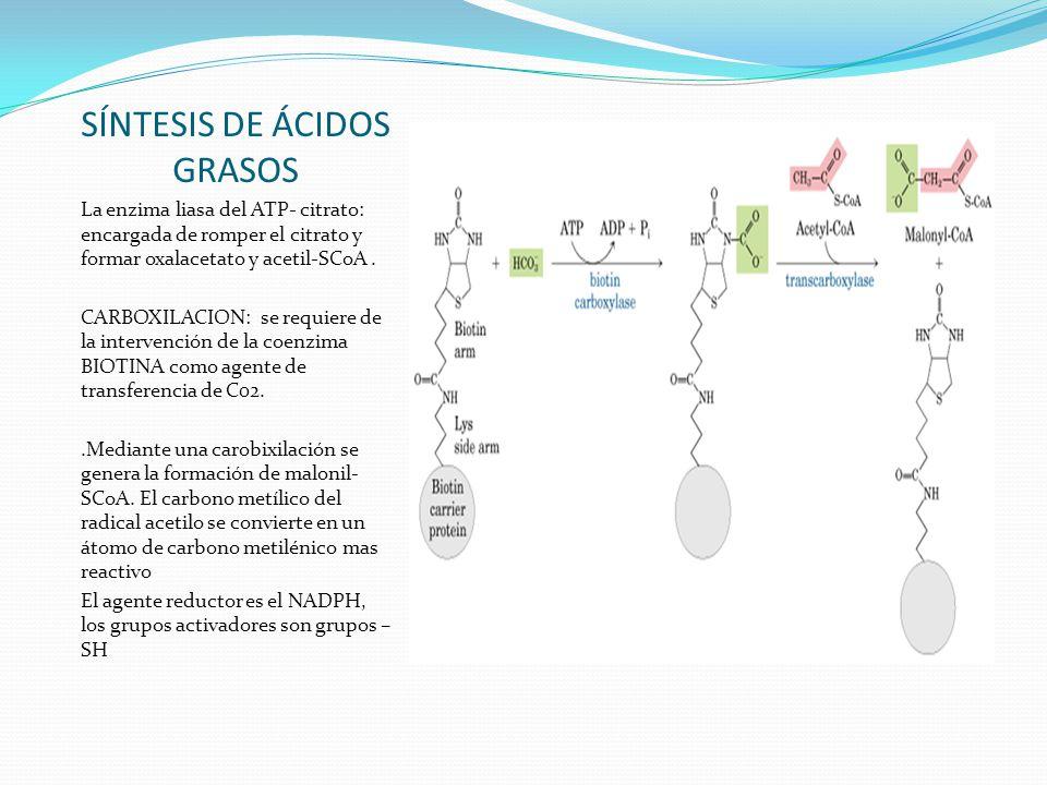 SÍNTESIS DE ÁCIDOS GRASOS La enzima liasa del ATP- citrato: encargada de romper el citrato y formar oxalacetato y acetil-SCoA. CARBOXILACION: se requi