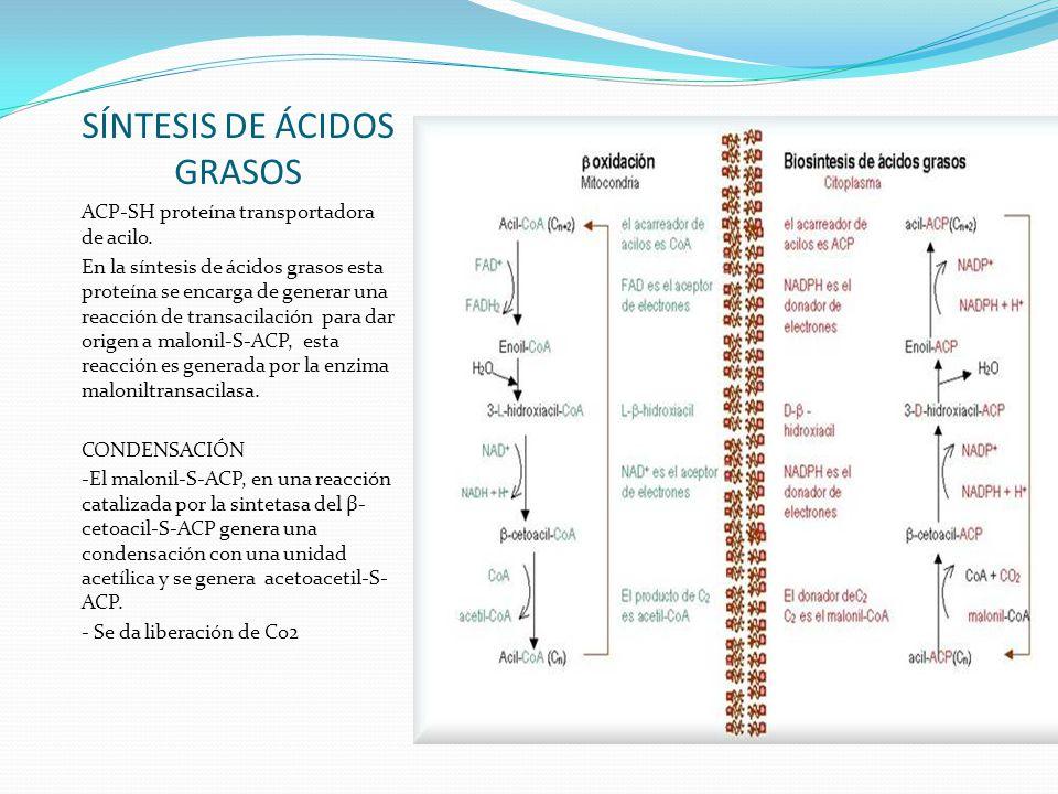 SÍNTESIS DE ÁCIDOS GRASOS ACP-SH proteína transportadora de acilo. En la síntesis de ácidos grasos esta proteína se encarga de generar una reacción de