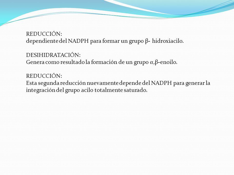 REDUCCIÓN: dependiente del NADPH para formar un grupo β- hidroxiacilo. DESIHIDRATACIÓN: Genera como resultado la formación de un grupo α,β-enoilo. RED