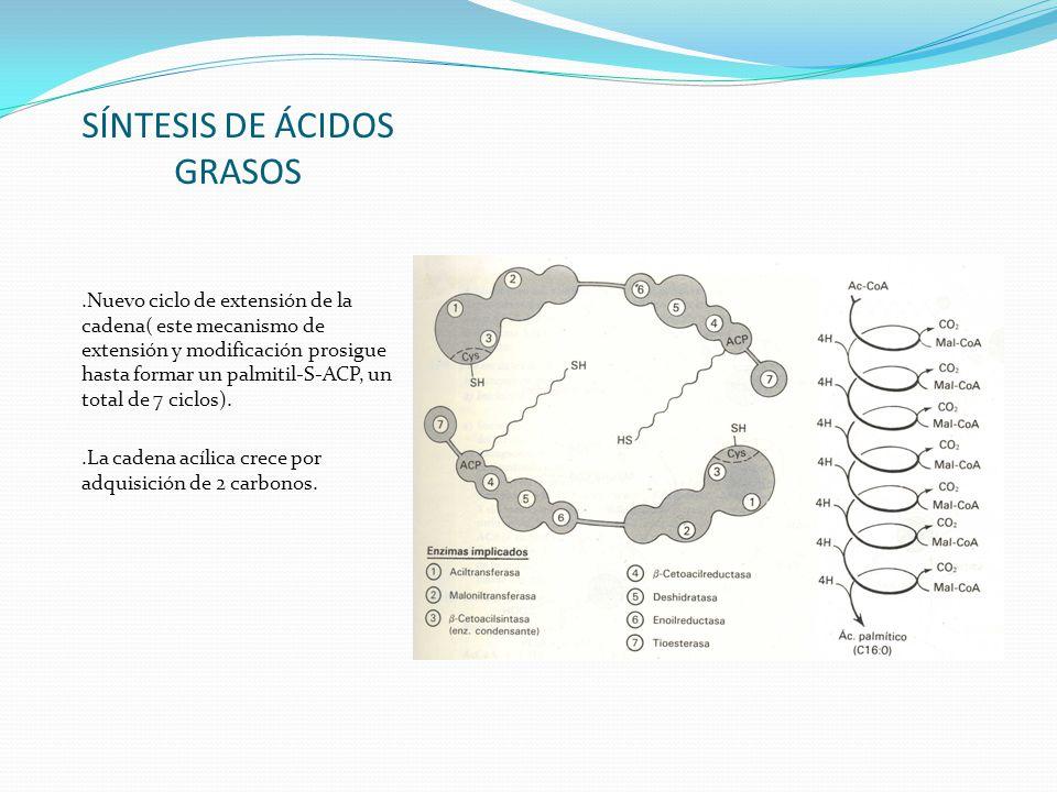 SÍNTESIS DE ÁCIDOS GRASOS.Nuevo ciclo de extensión de la cadena( este mecanismo de extensión y modificación prosigue hasta formar un palmitil-S-ACP, u