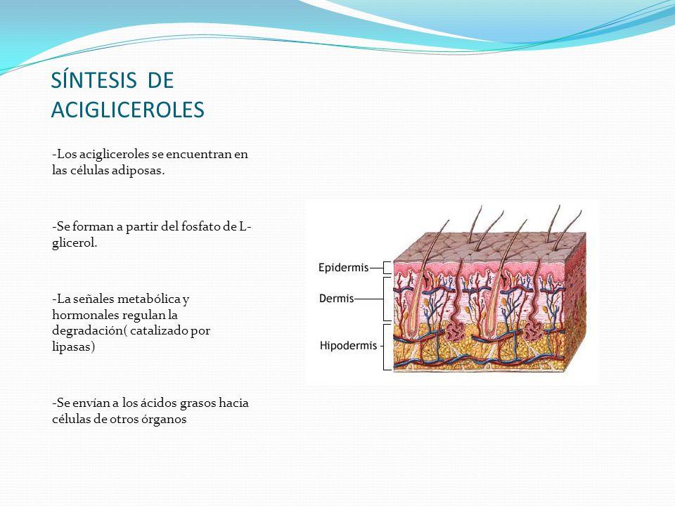 SÍNTESIS DE ACIGLICEROLES -Los acigliceroles se encuentran en las células adiposas. -Se forman a partir del fosfato de L- glicerol. -La señales metabó