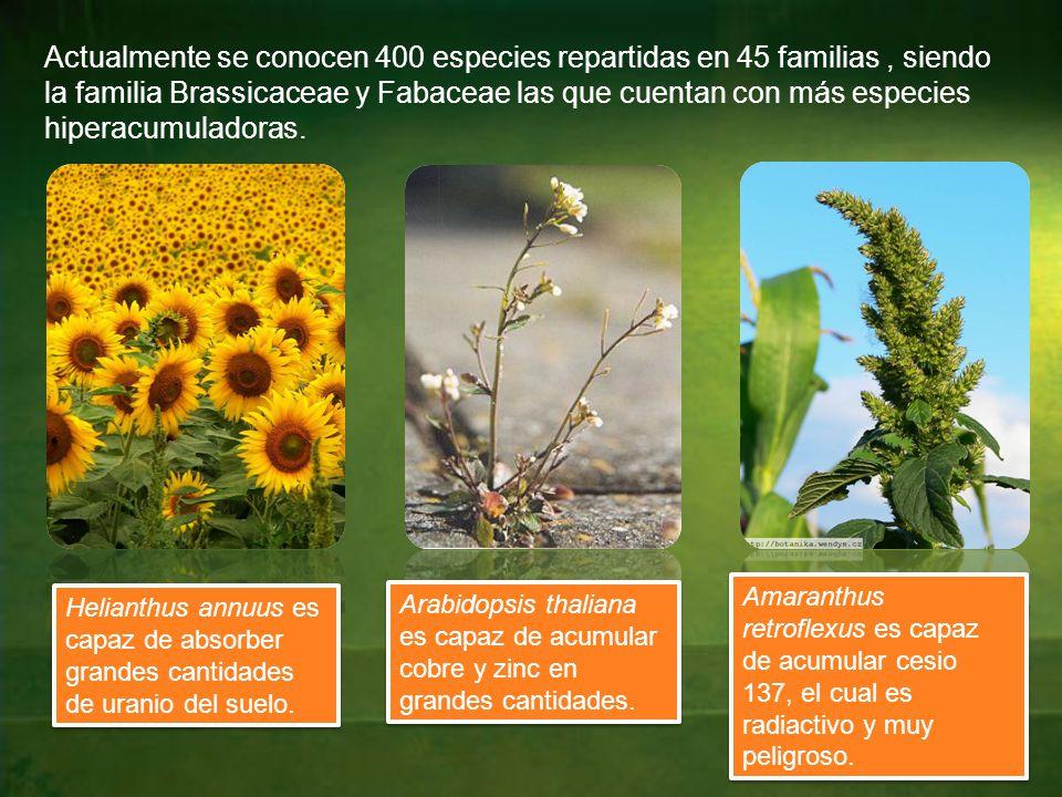 Actualmente se conocen 400 especies repartidas en 45 familias, siendo la familia Brassicaceae y Fabaceae las que cuentan con más especies hiperacumuladoras.