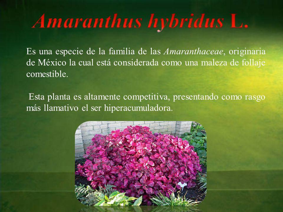 Es una especie de la familia de las Amaranthaceae, originaria de México la cual está considerada como una maleza de follaje comestible.