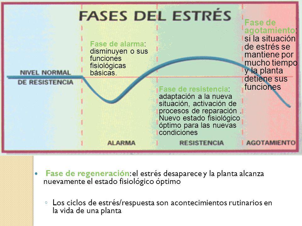 RESPUESTA DE LA PLANTA AL ESTRÉS Fase de regeneración: el estrés desaparece y la planta alcanza nuevamente el estado fisiológico óptimo Los ciclos de