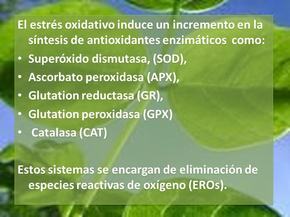 El estrés oxidativo también pueden afectar las reacciones fotoquímicas de la fotosíntesis, alterando la síntesis de los pigmentos fotosintéticos como clorofila a.
