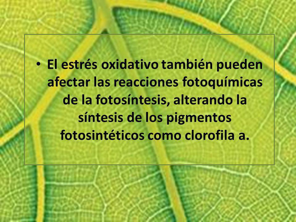 El estrés oxidativo también pueden afectar las reacciones fotoquímicas de la fotosíntesis, alterando la síntesis de los pigmentos fotosintéticos como