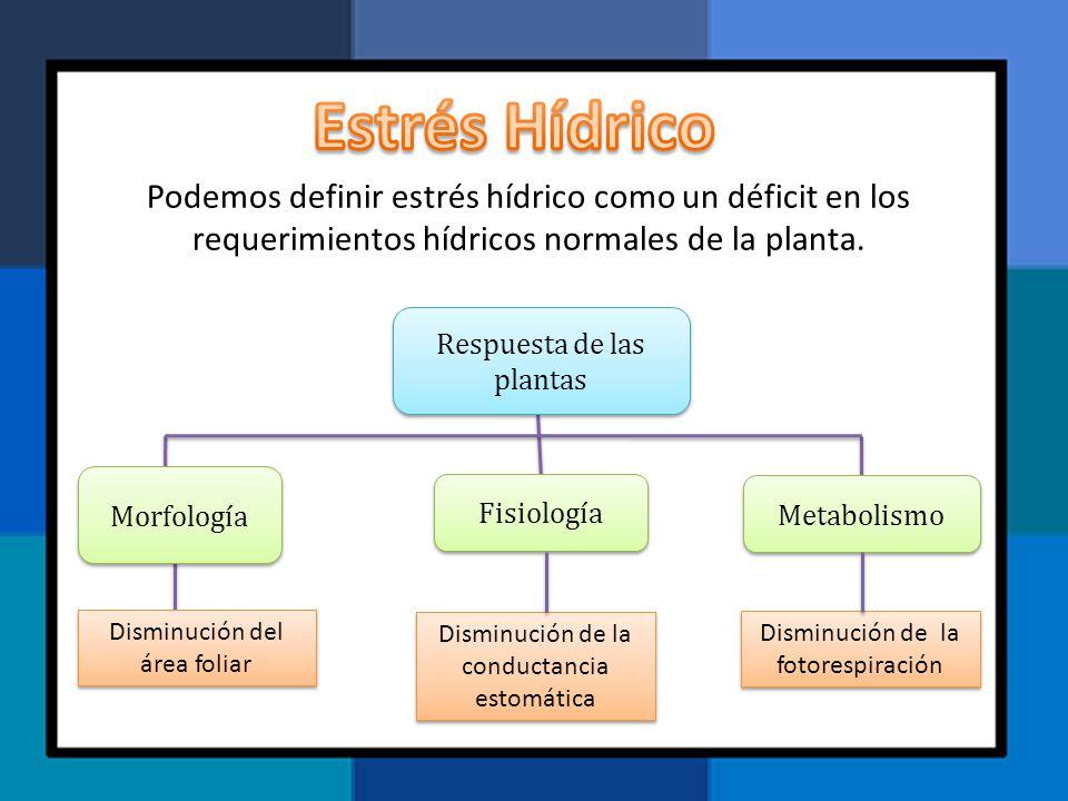 Podemos definir estrés hídrico como un déficit en los requerimientos hídricos normales de la planta. Respuesta de las plantas Morfología Fisiología Me