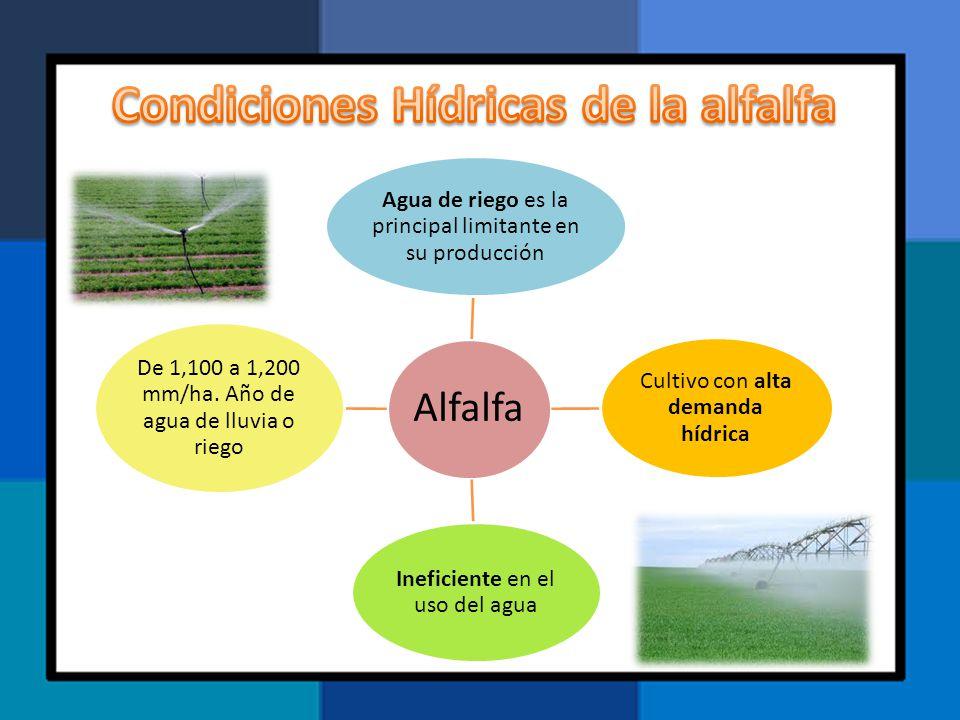 Alfalfa Agua de riego es la principal limitante en su producción Cultivo con alta demanda hídrica Ineficiente en el uso del agua De 1,100 a 1,200 mm/h