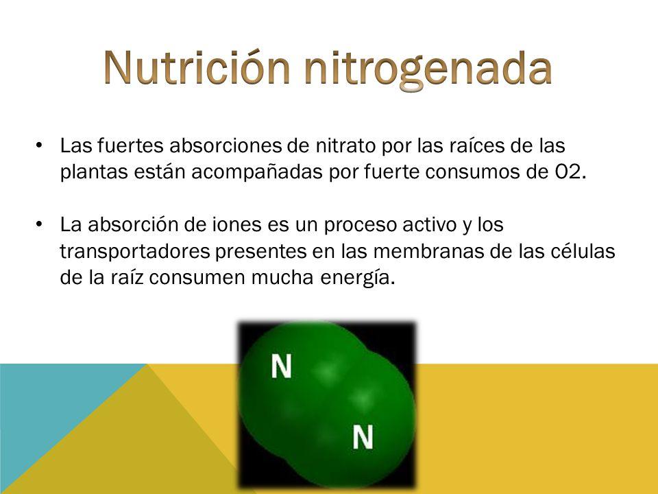 Las fuertes absorciones de nitrato por las raíces de las plantas están acompañadas por fuerte consumos de O2. La absorción de iones es un proceso acti