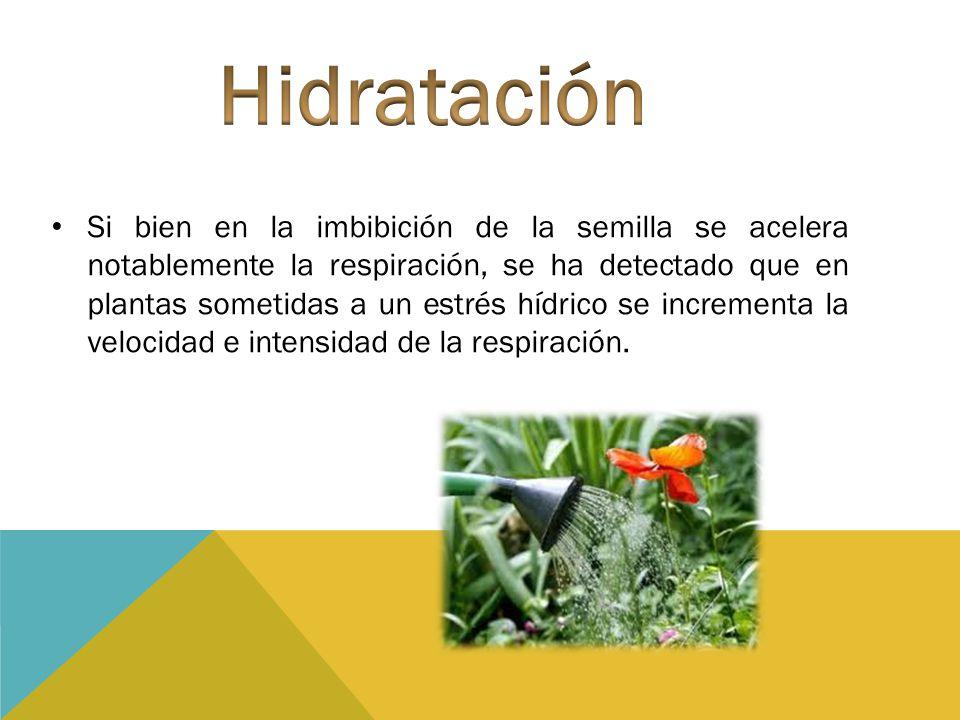 Si bien en la imbibición de la semilla se acelera notablemente la respiración, se ha detectado que en plantas sometidas a un estrés hídrico se increme