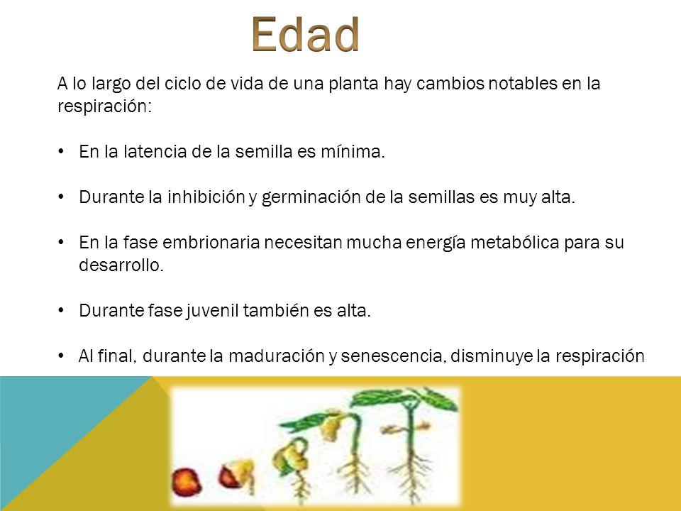 A lo largo del ciclo de vida de una planta hay cambios notables en la respiración: En la latencia de la semilla es mínima. Durante la inhibición y ger