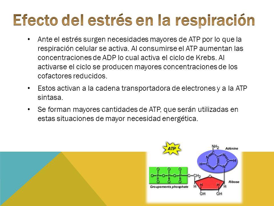 Ante el estrés surgen necesidades mayores de ATP por lo que la respiración celular se activa. Al consumirse el ATP aumentan las concentraciones de ADP