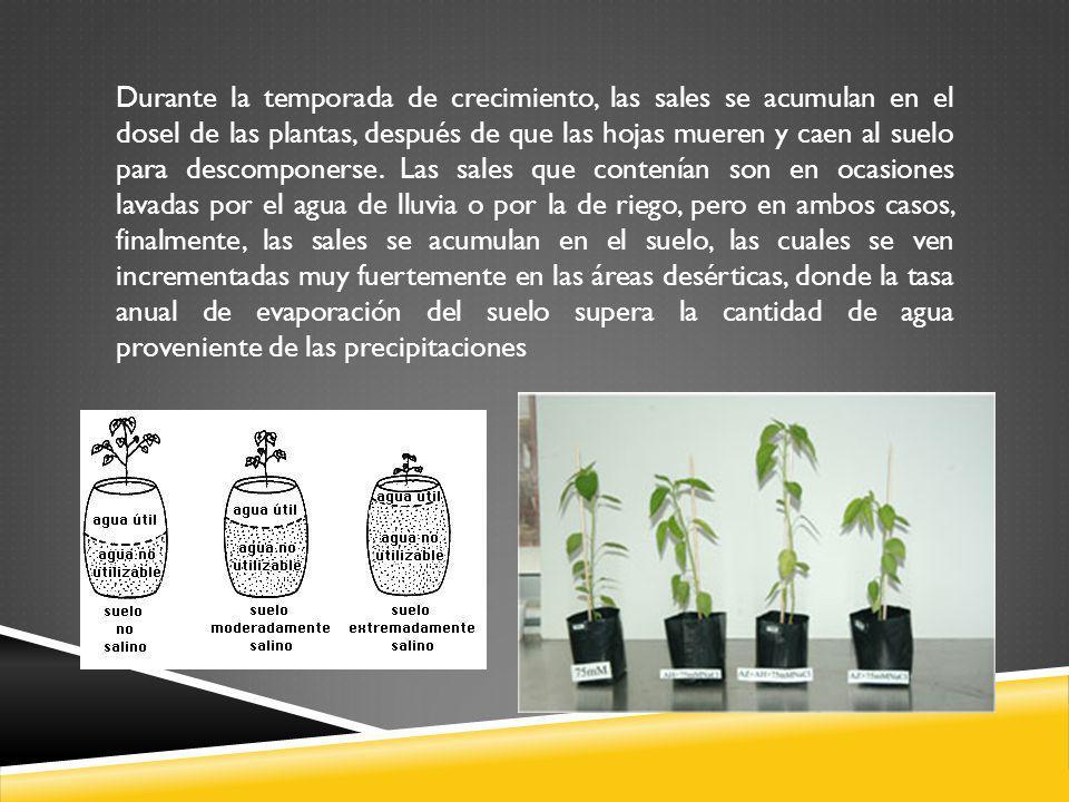 Durante la temporada de crecimiento, las sales se acumulan en el dosel de las plantas, después de que las hojas mueren y caen al suelo para descompone