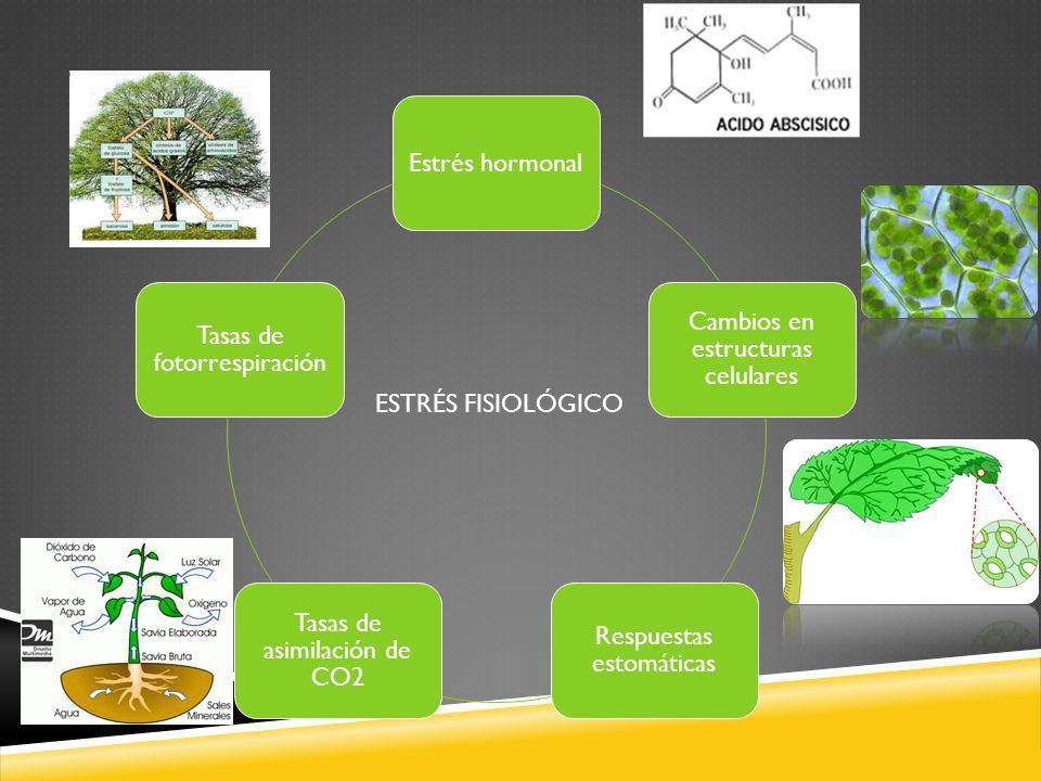 Estrés hormonal Cambios en estructuras celulares Respuestas estomáticas Tasas de asimilación de CO2 Tasas de fotorrespiración ESTRÉS FISIOLÓGICO