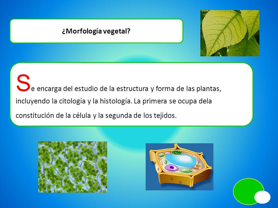 ¿Morfología vegetal? S e encarga del estudio de la estructura y forma de las plantas, incluyendo la citología y la histología. La primera se ocupa del