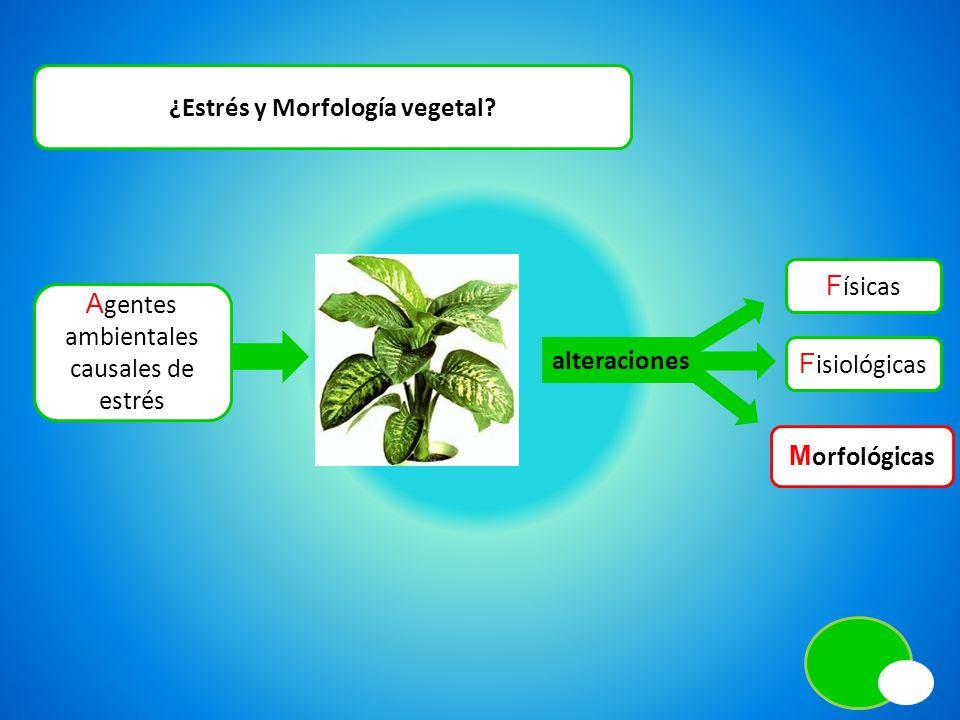 ¿Estrés y Morfología vegetal? A gentes ambientales causales de estrés alteraciones F ísicas F isiológicas M orfológicas