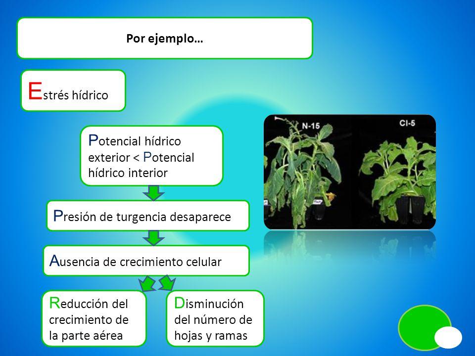 Por ejemplo… E strés hídrico R educción del crecimiento de la parte aérea D isminución del número de hojas y ramas P otencial hídrico exterior < P ote