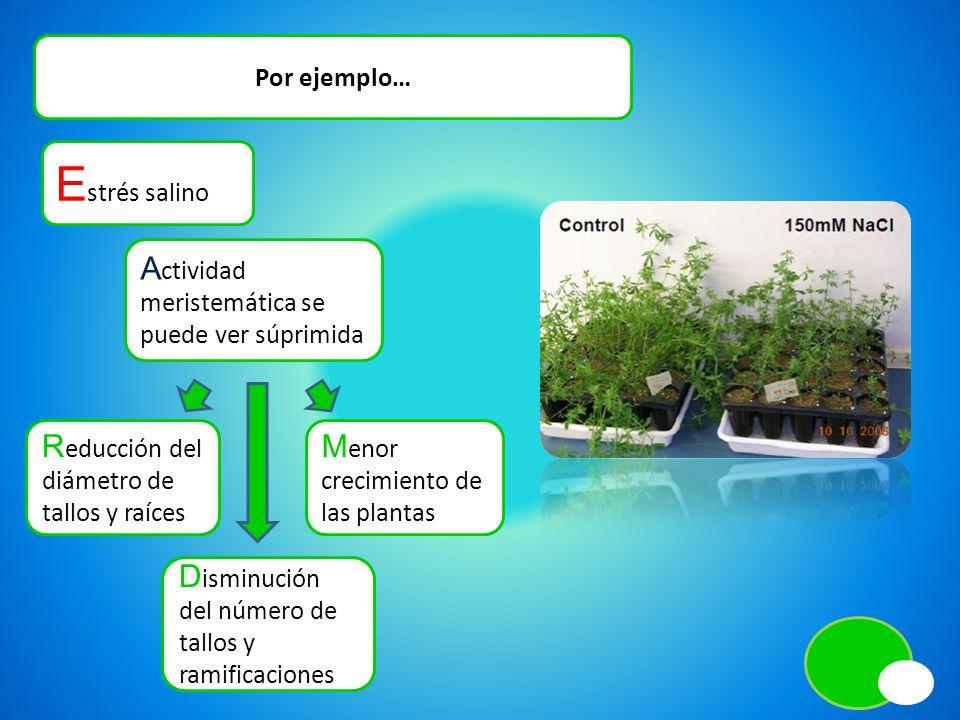 Por ejemplo… E strés salino R educción del diámetro de tallos y raíces D isminución del número de tallos y ramificaciones A ctividad meristemática se puede ver súprimida M enor crecimiento de las plantas