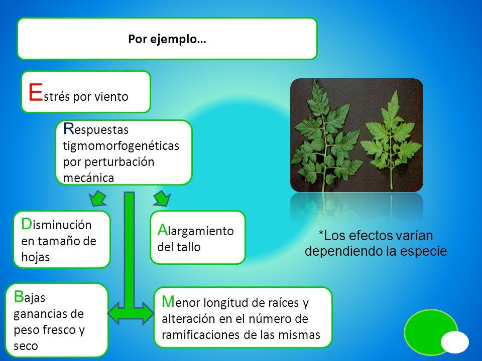 Por ejemplo… E strés por viento D isminución en tamaño de hojas A largamiento del tallo R espuestas tigmomorfogenéticas por perturbación mecánica B aj