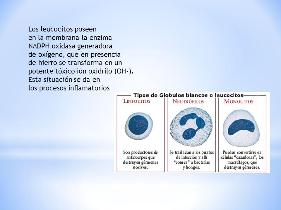 Los leucocitos poseen en la membrana la enzima NADPH oxidasa generadora de oxígeno, que en presencia de hierro se transforma en un potente tóxico ión oxidrilo (OH-).