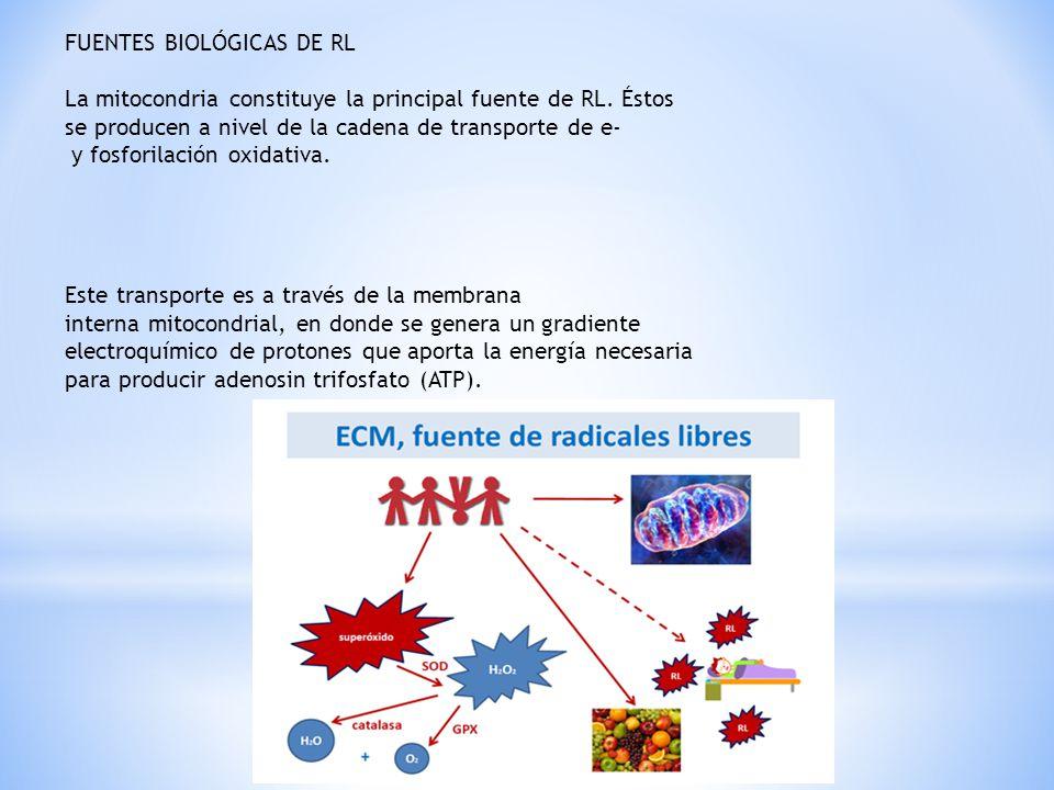 FUENTES BIOLÓGICAS DE RL La mitocondria constituye la principal fuente de RL. Éstos se producen a nivel de la cadena de transporte de e- y fosforilaci