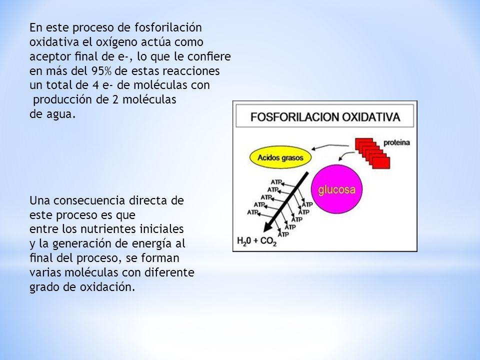 En este proceso de fosforilación oxidativa el oxígeno actúa como aceptor nal de e-, lo que le conere en más del 95% de estas reacciones un total de 4 e- de moléculas con producción de 2 moléculas de agua.